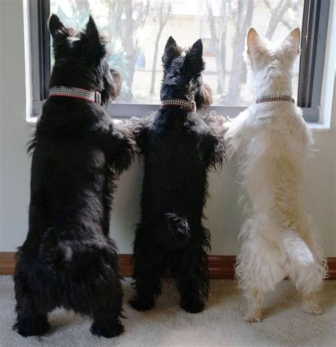 scottish terrier  dogs scottie cute dogs breeds