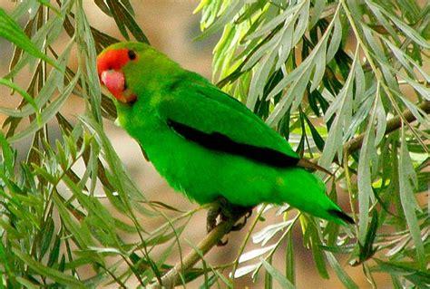 pappagalli inseparabili alimentazione agapornis taranta inseparabile di abissinia