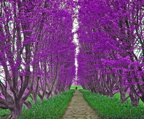 purple giants different grass purple color rows trees walkway 147640