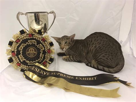 cat and show supreme cat show siamese and pictures 2016
