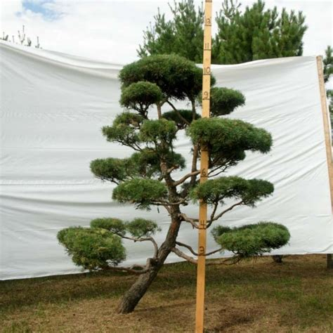 scotch pine trees 187 scotch pine topiary tree 152 plants beautiful nursery
