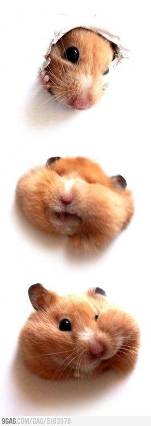 hamster mobil best 25 hamsters ideas on hamsters