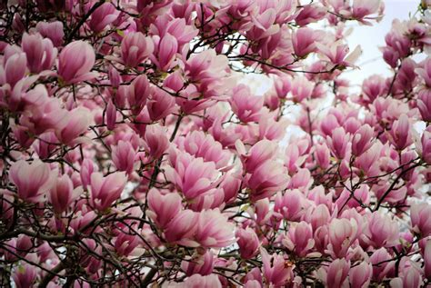 magnolia tulip tree this is actually a quot saucer magnolia