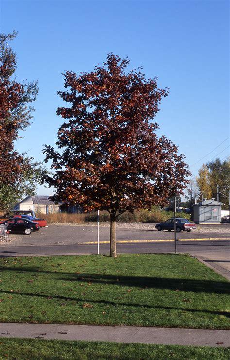 crimson king maple nursery