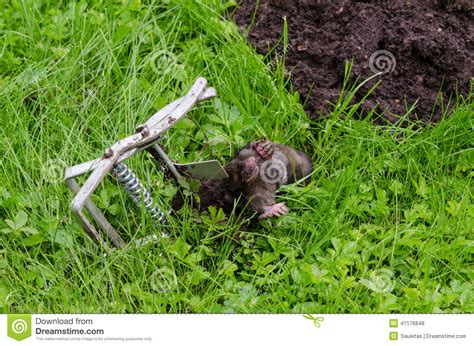 spring hill design jessica snare dead mole caught steel trap lie near mole hill stock photo