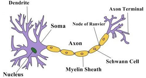 Sensory neuron cell body dyrevelferdfo whats the difference between sensory neurons sensory ccuart Gallery