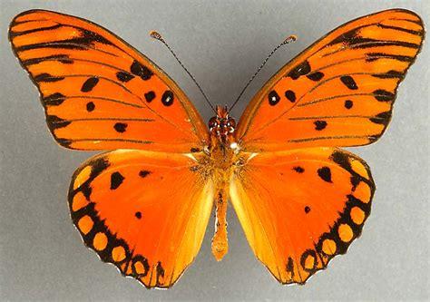 imagenes mariposas libres image gallery mariposas anaranjadas