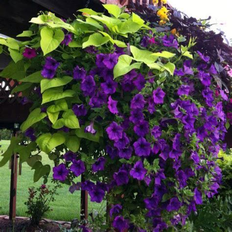 purple petunias sweet potato vine planters plants pinterest potatoes love the