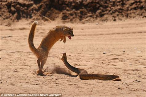 Mongoose Vs Cobra Snake | mongoose vs cobra skitzone