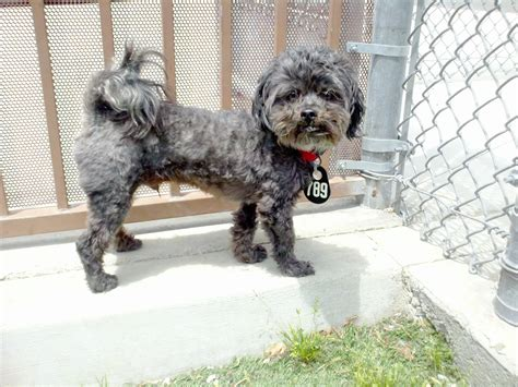 poodle mix with shih tzu poodle yorkie shih tzu mix www imgkid the image