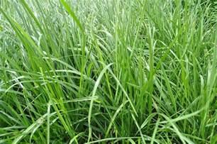 fine fescue grass for lawns quiet corner
