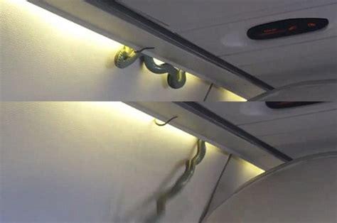 film ular di pesawat video ular berbisa bergelantungan di kabin pesawat