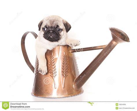 pug purebred pug purebred puppy royalty free stock image image 18254936
