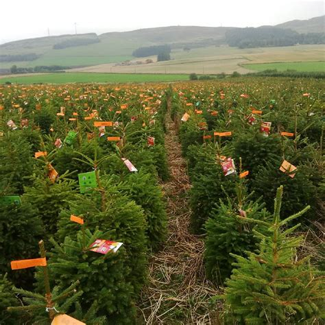 bctga open day at tayside forestry the christmas tree farm