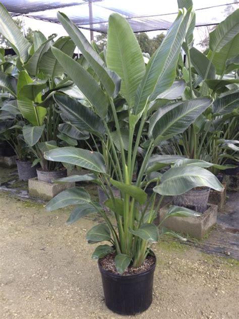 bird  paradise plant care metropolitan wholesale
