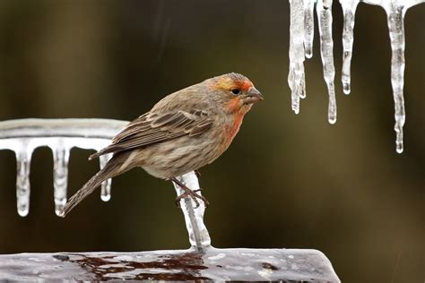 house finch migration 28 images uk400clubrarebirdalert