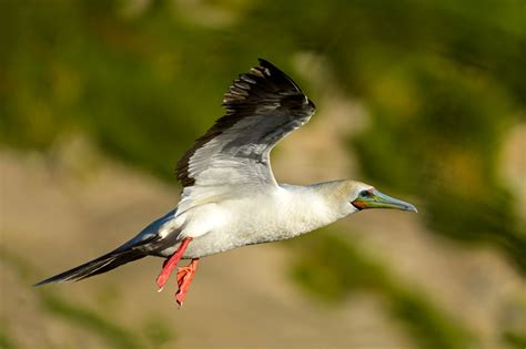 red footed booby new zealand birds online