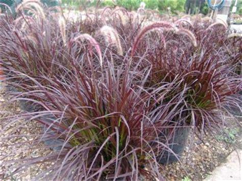 pennisetum setaceum 'rubrum' | evergreen nursery
