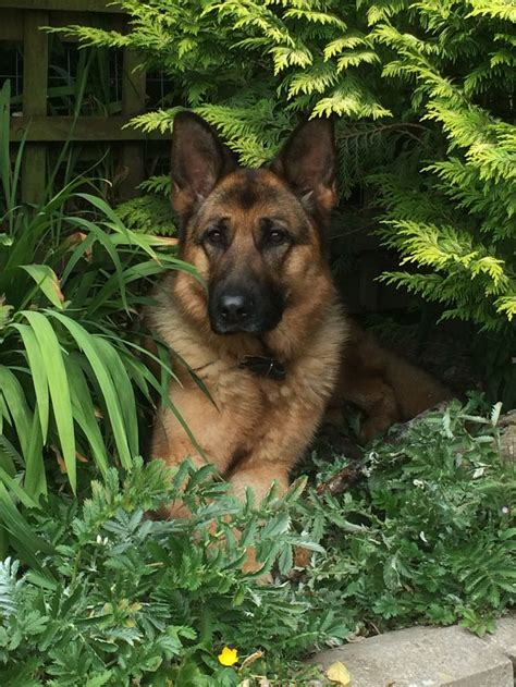 how much are german shepherd puppies 1000 images about german shepards on german