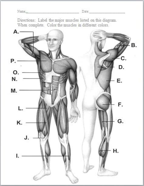 muscles worksheet muscular system diagram worksheet craftbrewswag info