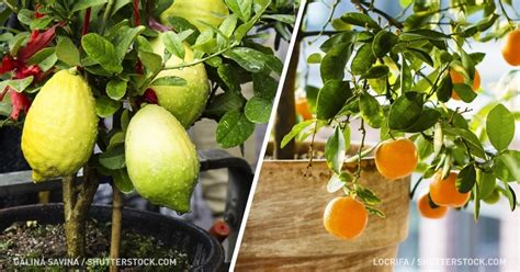 fruit you can grow indoors the best of fruits that you can grow indoors