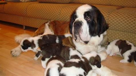 bernard puppies for adoption bernard puppies for sale in kl for sale adoption from kuala lumpur adpost