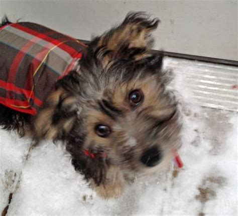 yorkie puppy mill rescue pin yorkie puppy mill rescue image search results on