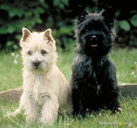 cairn terrier puppies cairn terrier puppies jpg