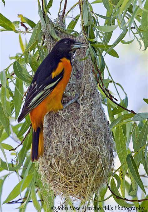 an experience of a lifetime baltimore oriole nest