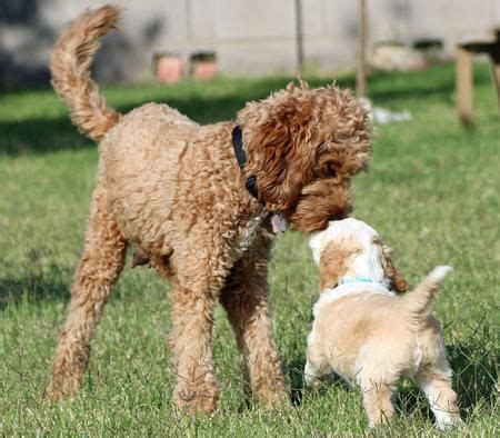 labradoodle puppies az 17 best ideas about labradoodle puppies on baby dogs shih tzu poodle