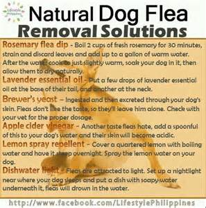fleas flea remedies and flea powder on