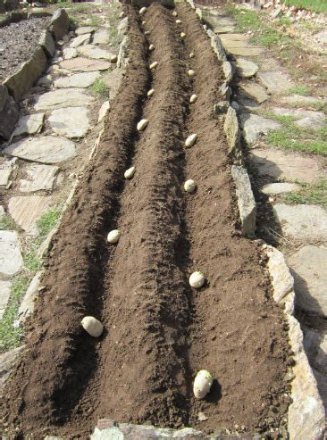 planting potatoes gardening tips and pictures the old farmer s almanac