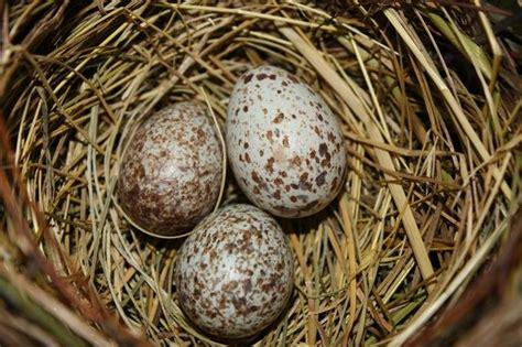 what color are cardinal eggs cardinal bird eggs by karenroberts viewbug