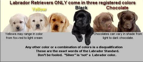 colors of labs lab breeder in alberta no such thing as silver