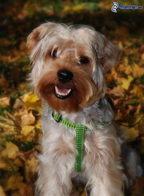 yorkie collars terrier