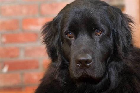 newfoundland span about the breed newf rescue canada