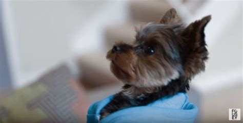 dollar yorkie 17 best ideas about teacup terrier on yorkie puppies yorkie and