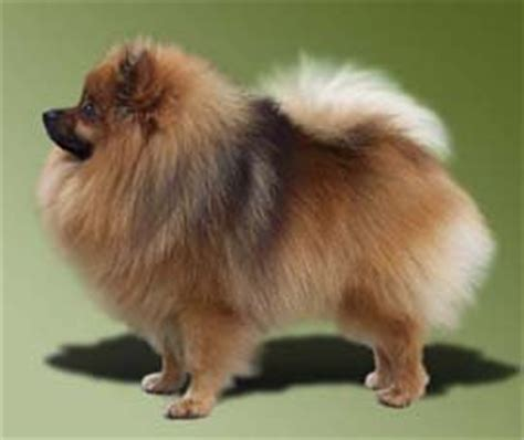 german spitz pomeranian mix keeshond breed