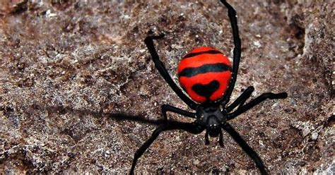 100 western black widow spider stock black widow