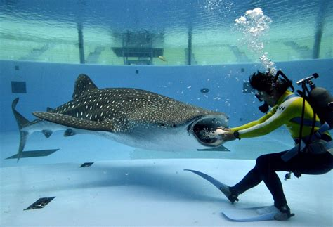 baby shark japan fish