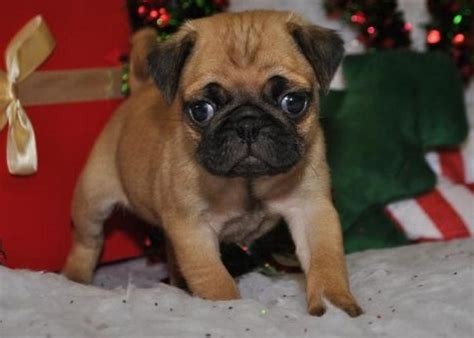 pugs for sale in ny puppies for sale in new york petsale inc