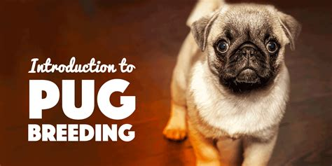 how much are pugs 2016 pugs introduction to pug