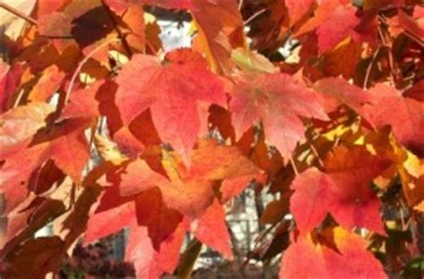 are maple trees poisonous to horses maple leaves