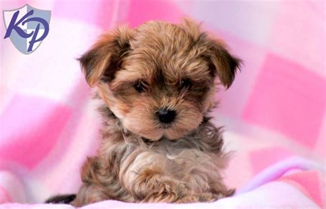 morkie puppies for sale in indiana yorkie maltese morkie yorkiepoo puppies for sale is a maltese breeds picture