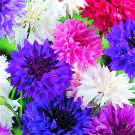 fiore fiordaliso giardino fiori fiordaliso bavicchi