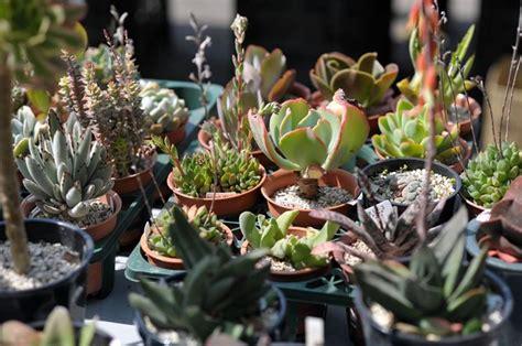 piante grasse da fiore piante grasse con fiori piante grasse da appartamento