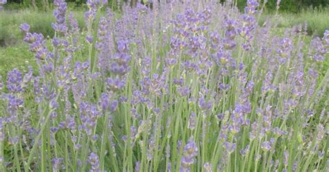 lockwood lavender farm early bloomers