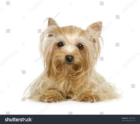 a white yorkie terrier front white background stock photo 10897330
