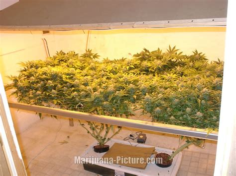 marijuana grow room growing marijuana indoors grow room marijuana jpg