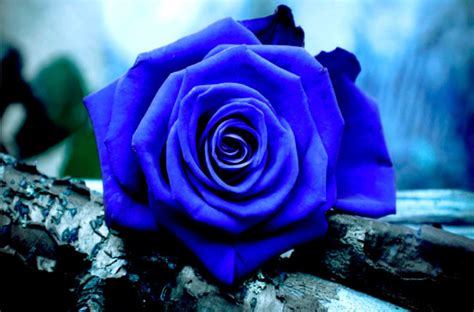 Imagenes De Rosas Azules Y Negras | im 225 genes de rosas rojas blancas azules negras ramos y